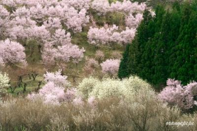 福島市内の桜